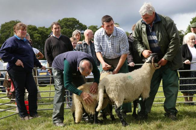 Serious inspections went on in the judging ring at the sheep show at Falstone. D351437 50067145H004.jpg