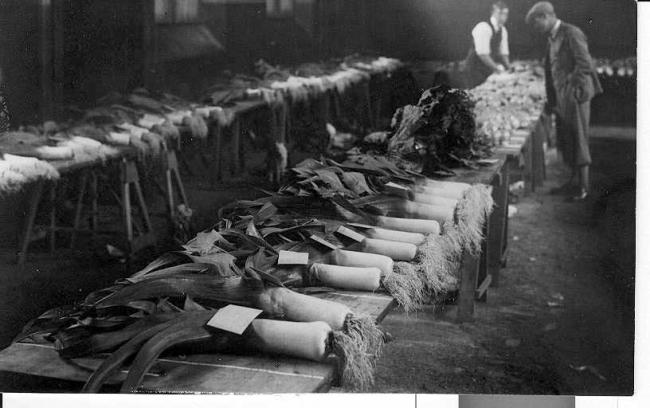 A fine selection of leeks at Bellingham Leek Show  in 1935, which took place in the town hall.