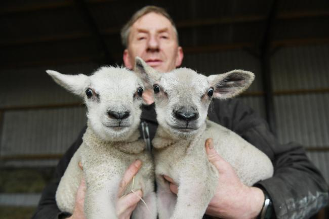 Farmer Malcolm Burn with his new years day lambs at Grange House Farm near Stamfordham. Photo: HX012030. KATE BUCKINGHAM.