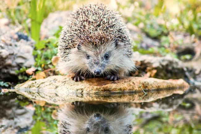 Hedgehogs will drown if they can't climb out of steep-sided ponds