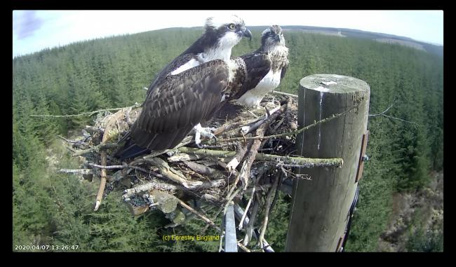 Kielder osprey cam shows birds known as Mr and Mrs YA settling in.