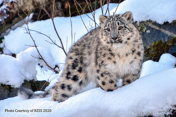 Snow leopards are coming to Northumberland. Photo: Northumberland County Zoo