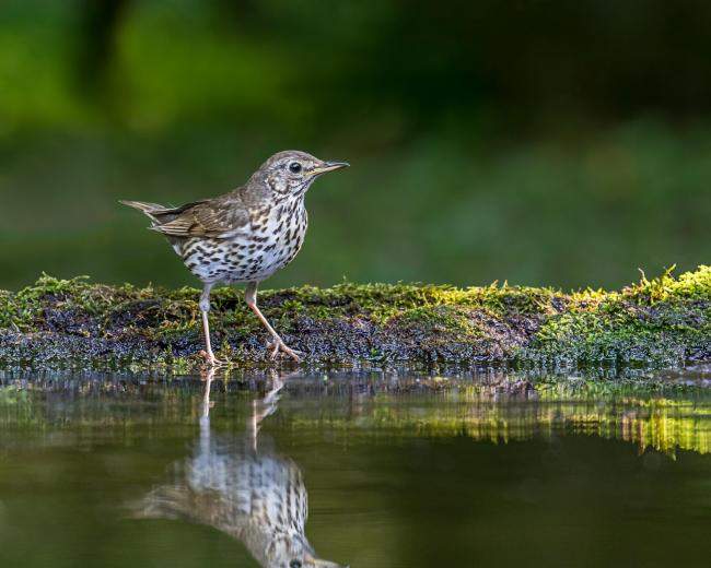 Song Thrush. Photo: ANDY MORFFEW