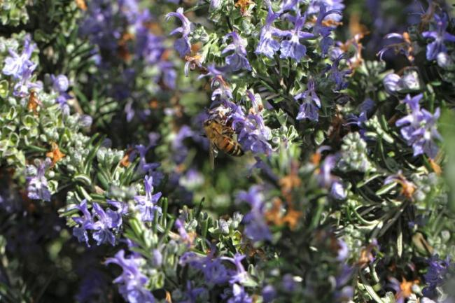 A honeybee on rosemary.