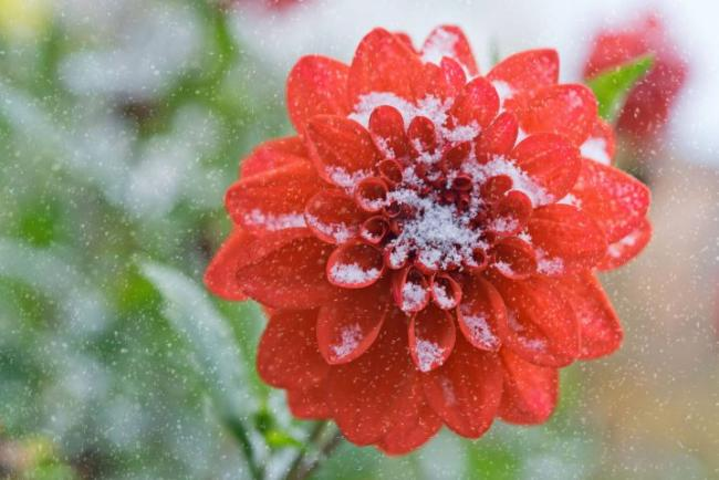 Help dahlias survive the winter weather