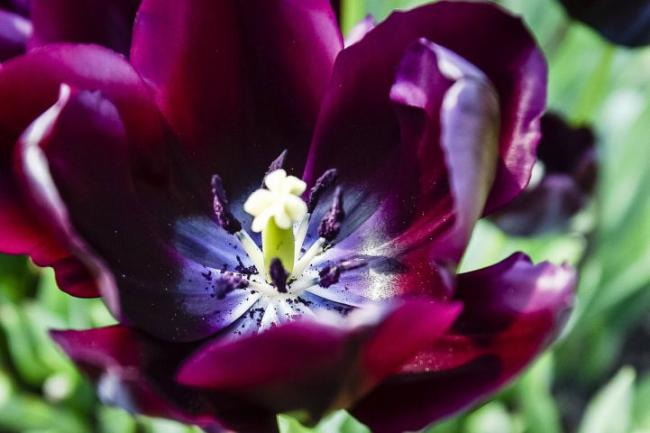 Now is the ideal time to plant tulip bulbs