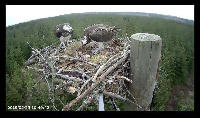 Footage from the Forestry England webcam shows the ospreys with some of the newly-hatched chicks. 					          Photo: FORESTRY ENGLAND